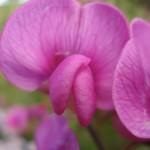 fleur de haricot