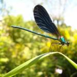 libellule demoiselle bleue