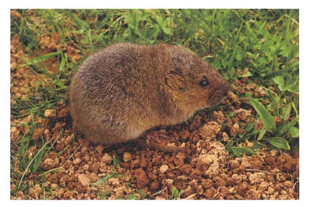 campagnol ou rat taupier